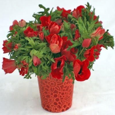 כלניות אדומות - פרחי יערה - חיפה