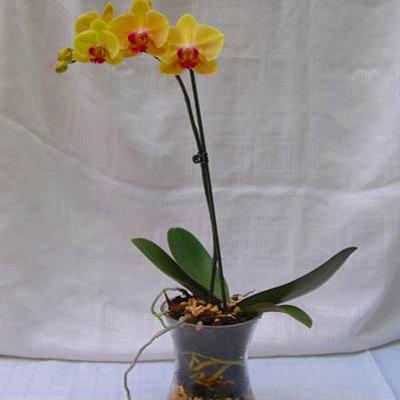 עציץ סחלב פורח - פרחי אלונה - טבריה