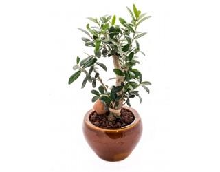 עץ זית ננסי - פרחים רמת החייל TLV - תל אביב
