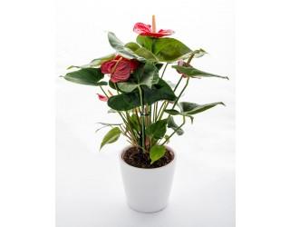 אנטוריום - פרחים רמת החייל TLV - תל אביב