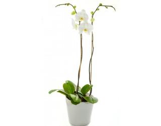 סחלב זוגות בכלי קרמיקה - פרחים רמת החייל TLV - תל אביב